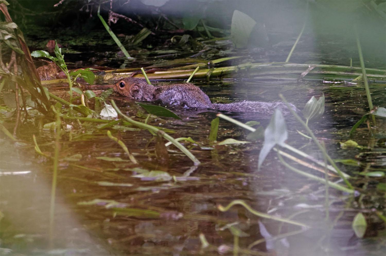 Squirrel swimming 25 Aug 21