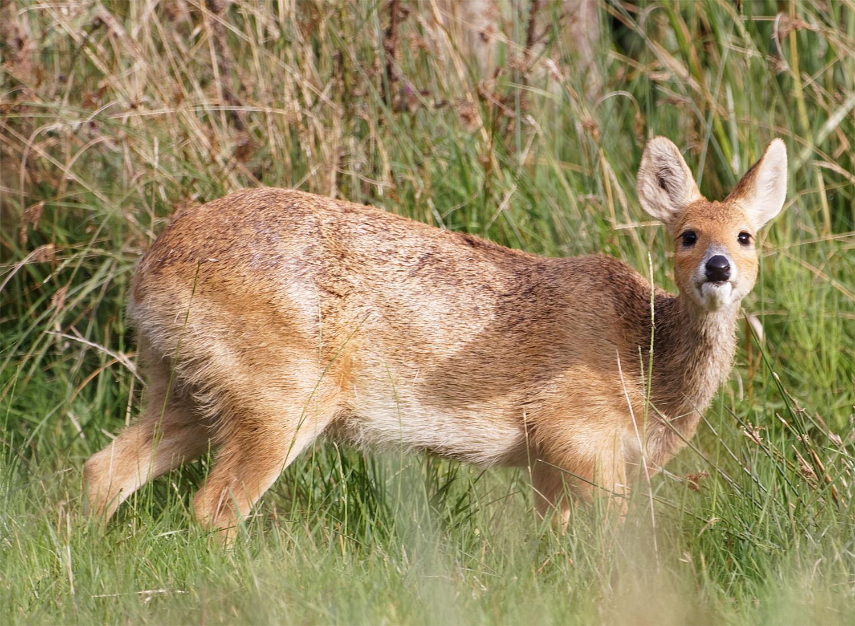 Water deer 12 Sept 21